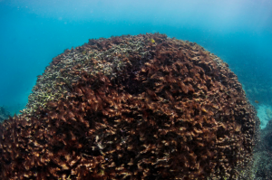 AFTER.  The slider function in this new article in The Guardian lets you see the transition from life to death in this Great Barrier Reef coral head.  It is truly grim.